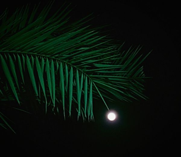 full wolf moon Full Moon Full Wolf Moon Green Color Black Background Night Palm Tree Nature No People Moon Beauty In Nature Tree