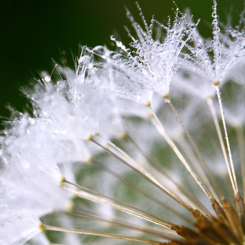 Close-Up Of Water Drops On Dandelion