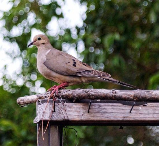 Dove On Railing