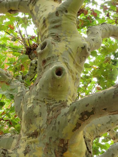 Face in a tree, plane tree stem Face In The Tree Antropomorphic Branch Brown And Green Colour Close-up Day Growth Interesting Shapes Of Nature Leaf Low Angle View Nature No People Outdoors Plane Tree Plant Plant Part Tree Tree Trunk Trunk