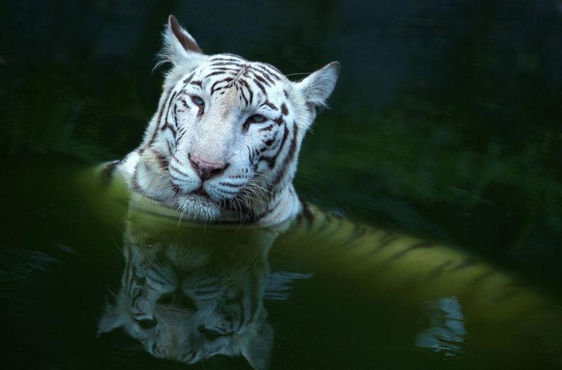 Close-up of white tiger swimming in lake