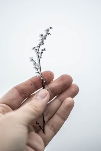 Close-up of hand holding plant stem against gray background