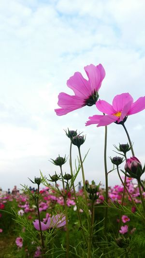 Nature FlowerLove 🌸 Flowers, Nature And Beauty Beautiful Nature Pink Flowers Blue Sky China Nature Love To Take Photos ❤ EyeEm Nature Lover No People Flower Photography Outdoor Photography