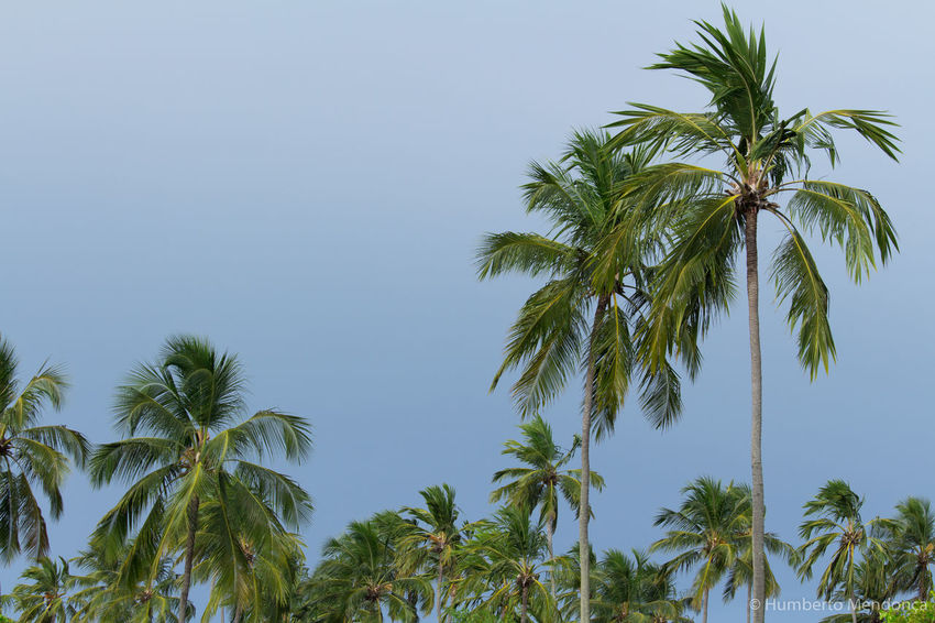 Blue Coconut Palm Tree Day Green Low Angle View Nature No People Palm Tree Sky Tranquil Scene Tranquility Tree Tropical Climate