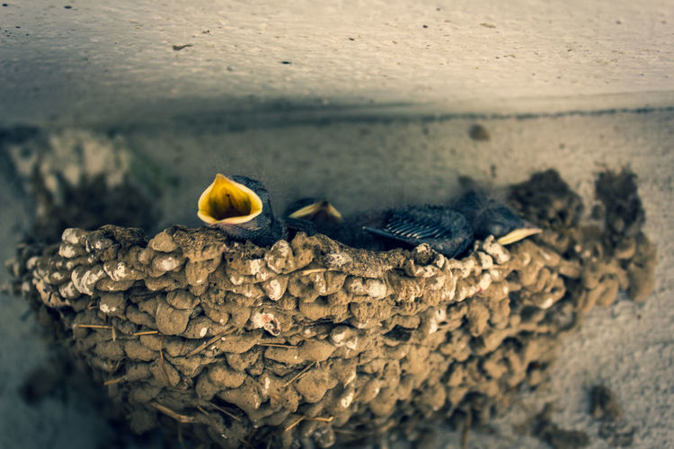 swallow nest No People Animal Themes Bird Nest Barn Isolated Young Chicks Hungry Animal Backgrounds Singing White Spring Wild Wildlife Open Beak Nature Outdoors Summer Looking Outside Competition Bird Reptile Insect Perching Animal Themes Close-up The Great Outdoors - 2018 EyeEm Awards EyeEmNewHere