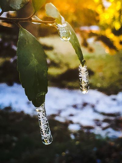 the day is ending. the sun has melted the snow with only a few reminders Icicles Ice Snow Leaf