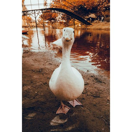 White duck in lake