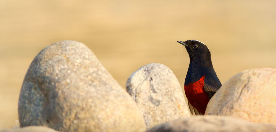 White-capped water redstart Birds Hide Nature Redstart Rocks Seek Sunset Water Wildlife