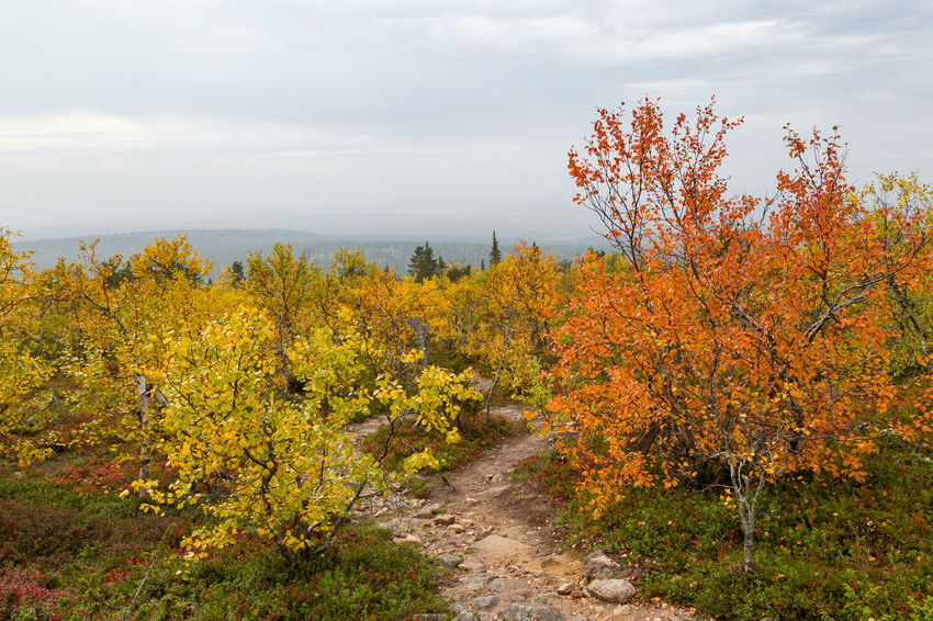 Fall colors along the path to the summit of Pyhä-Nattanen fell in the Finnish Lapland. Autumn Leaves Fall Colors Footpath Lapland, Finland Autumn Beauty In Nature Change Cloud - Sky Growth Hazy Day Landscape Nature No People Outdoors Plant Rugged Terrain Scenics Signpost Sky Tranquil Scene Tranquility Travel Destinations Tree Yellow