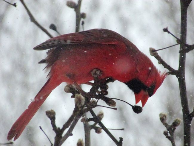 """2017 Winter Storm """"Stella"""" ❄️☃️ Red Animal Themes Bird Close-up One Animal Focus On Foreground Nature Animals In The Wild No People Perching Outdoors Day Winter Cold Temperature Beauty In Nature Cardinal"""