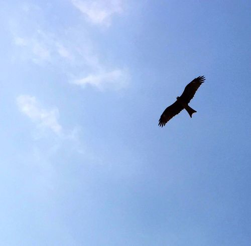 South Bay Beach Bird Of Prey soaring in the skies Minor Editing IPhoneography