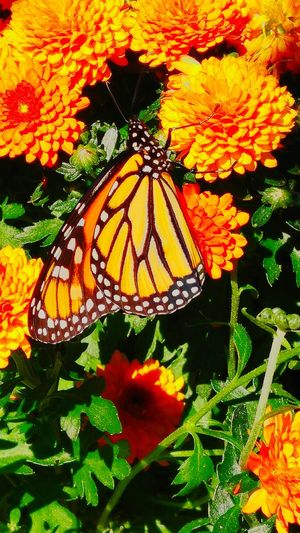 Sweet sweet goodness! Butterfly Nectar Collecting Beautiful Colors!
