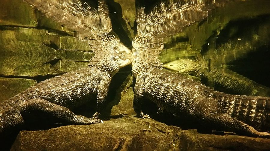 Crocodile Crocodiles Mirror Image Mirror Image Reflection Underwater Reflection Water Animals In Captivity Zoo Animals  Omaha Henry Doorly Zoo And Aquarium Omaha's Henry Doorly Zoo Reptiles Reptiles Of Eyeem Hanging Out Taking Photos Animal Themes Reptile Themes