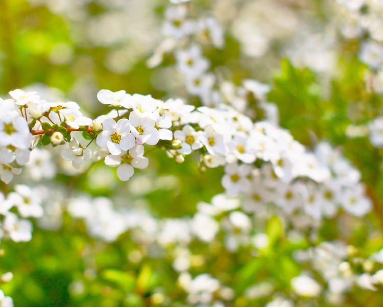 Tokyo Flowers Thunberg Spirea 単焦点レンズ 50mm 雪柳