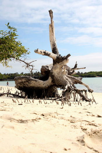 EyeEmNewHere Beach Beauty In Nature Dead Tree Driftwood Sand Sun Bleached