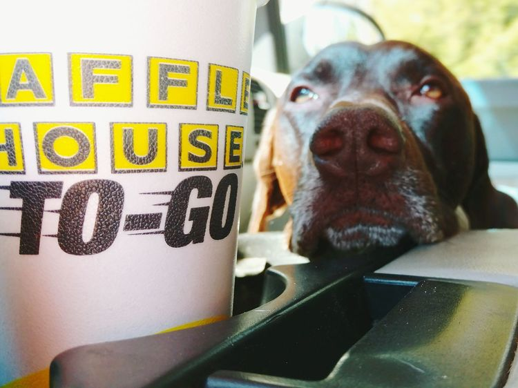 Waffle House My Boy German Shorthaired Pointer Breakfast Time With The Huffington Post Breakfast Bacon! Tired Eyes  Eyes Watching You
