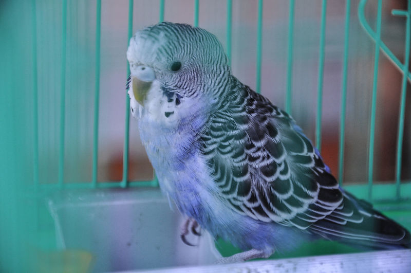 Close-up of budgerigar in birdcage