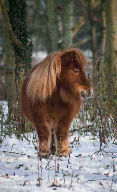 Pony Animal Themes Beauty In Nature Cold Temperature Day Domestic Animals Equestrian Equine Equine Art Equine Photography Equinelife Equinephotography Equines Equines Of Eye Em Field Highland Cattle Horse Horse Photography  Mammal Nature No People One Animal Outdoors Snow Standing Tree Winter