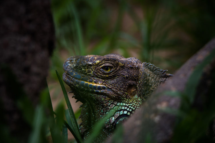 Close-up of a eguana