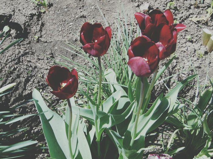 Тюльпаны Nature Flower Flower Head Green Color цветы природароссии