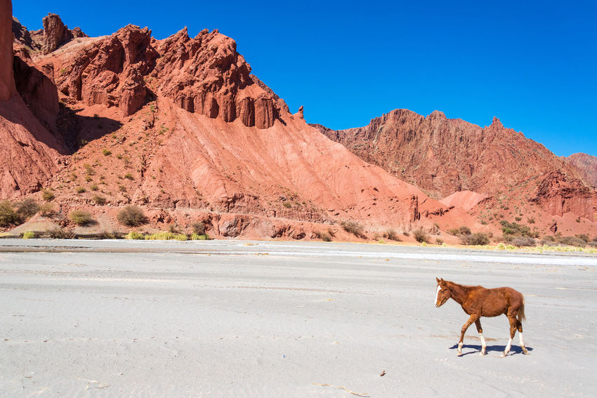 Brown and white colt in a desert surrounded by dramatic red hills in Tupiza, Bolivia Andean Andes Beauty Bolivia Cactus Canyon Color Colorful Country Countryside Desert Destination Formation Full Hills Horse Landscape Mountains Nature Rock Rocks South America Travel TUPIZA Valley