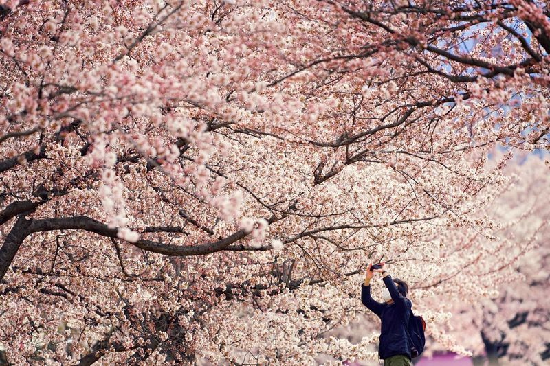 Man photographing cherry blossoms
