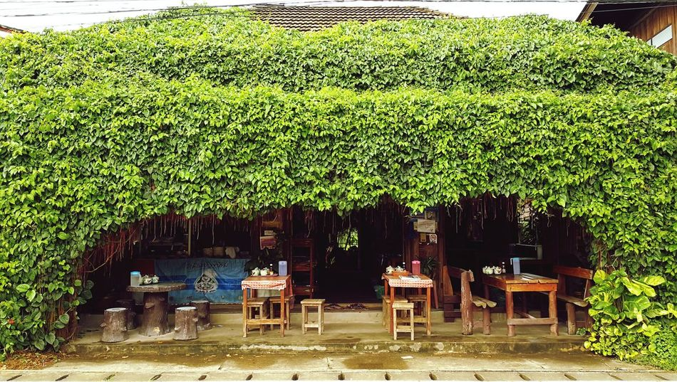 Centella Asiatica Centella Asiatica Urban Umbelliferae Green Restuarant Noodle Shop Decorate Decoration Decorating Home Decor Rustic Style Rustic Village Village Life Peaceful Market Leaf A Lot Of Ivy Ivy Wall Overgrown Overgrown And Beautiful Bushes And Trees Shadow Outdoors
