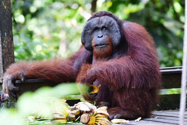 Orang Utan Sepilok Orangutang Center Sabah Malaysia Ape Forest Close-up Primate Chimpanzee Japanese Macaque Zoo Animals In Captivity Endangered Species Baboon Madagascar  Tropical Rainforest Gorilla Rainforest Animal Hair Orangutan Monkey Lemur Infant