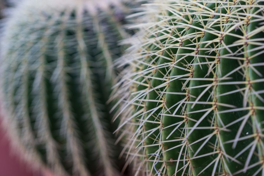 Echinocactus Grusonii Cactus Backgrounds Cactus Close-up Day Echinocactus Echinocactus Grusonii Full Frame Green Color Growth Grusonii Nature No People Outdoors Succulent