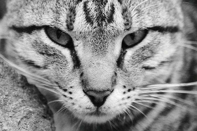 One Animal Animal Themes Domestic Cat Close-up Pets Domestic Animals Animal Head  Whisker Cat Feline Mammal Front View Focus On Foreground Full Frame Tabby Looking At Camera Outdoors Animal Eye Whiskers Animal