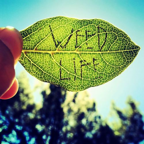 """Free the leaf"" Green Color Part Of Leaf Cropped Leaf Vein Green Extreme Close-up Growth Holding Tranquility Focus On Foreground Outdoors Nature Person Sky Day Tranquil Scene Weed Life Free The Leaf Weed Freedom Legalizeit Teen Fingers"