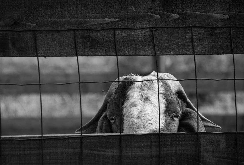 Animal Animal Hair Animal Head  Animal Themes Day Domestic Animals Farm Farm Life Fence Goat Kerber Mammal Nature One Animal Outdoors Rural Safari Animals Stable Working Animal Zoo Zoology