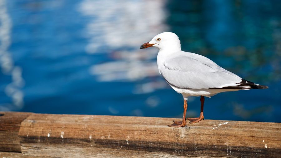 Where's my chip chip chip EyeEm Selects Bird Animals In The Wild Animal Wildlife Animal Themes Animal Vertebrate One Animal Perching Water Seagull Focus On Foreground No People Day Sunlight White Color Side View Beak