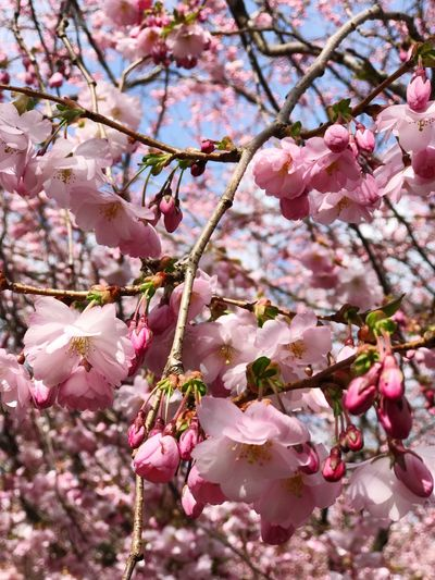 Flower Plant Flowering Plant Pink Color Tree Growth Freshness Branch Blossom Cherry Blossom Springtime Beauty In Nature No People Nature Day Cherry Tree