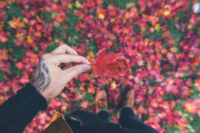 Low Section Of Man Holding Dry Maple Leaf During Autumn