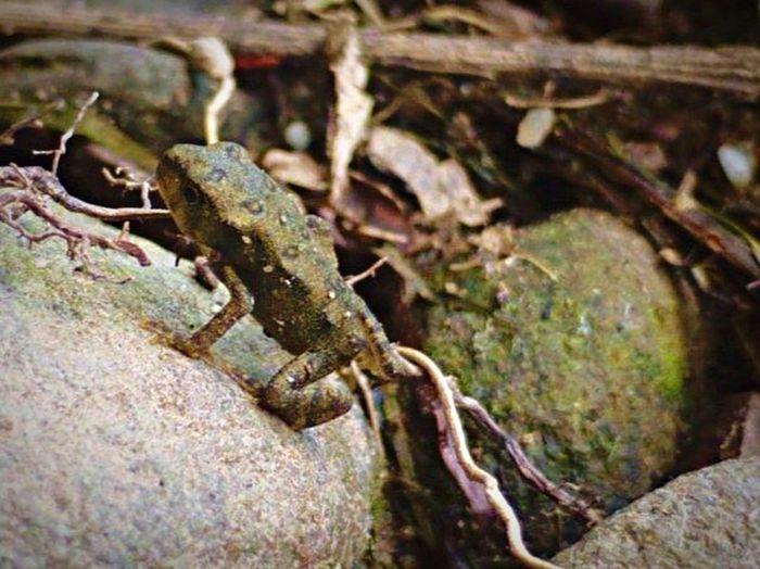 Summer2014 Macro Frog Toad SlateRun Pennsylvania Pinecreek Wildlife Color Photography Nature Rock