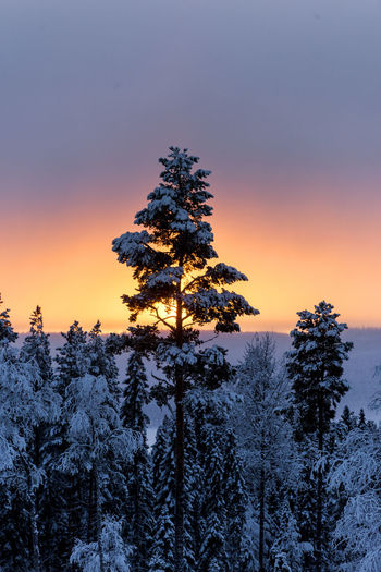 Trees on snow covered land against sky during sunset