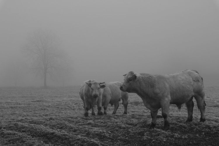 Cows on field in a foggy day