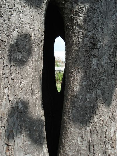 Linde Stamm - Hohler Baum - Fenster - Loch - Wald - Natur Tree