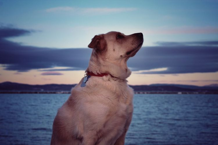 Dog by sea against sky during sunset