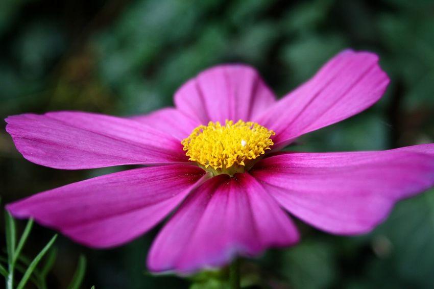 Cosmea, welch hübscher Name ;-) Beauty In Nature Blümchen Für Euch Blümchenliebe Cosmea Daslebenistzukurzumtraurigzusein Flower Flower Head Focus On Foreground Fragility Freshness Growth In Bloom Lovely Nature Petal Pink Color Pollen Selective Focus Yellow