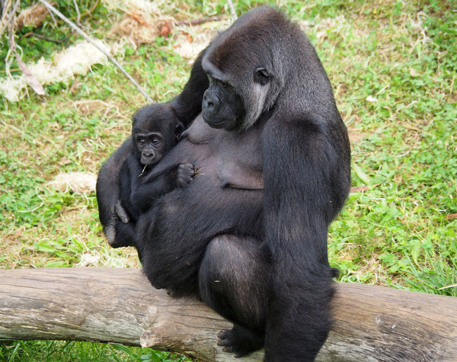 View of a female lowland gorilla with a baby Ape Baby Livestock Mother Natural Nature Africa Animal Baby Gorilla Female Gorilla Lowland Mammal Monkey Park Primate Primatology Protection Reserve Safari Safari Animals Son Wild Wild Animals Wildlife