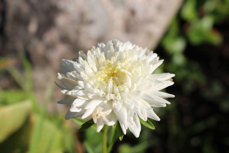 Close-up of white chrysanthemum blooming outdoors