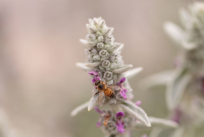 Honeybee, Apis mellifera, gathers pollen on a flower in spring in Southern California, United States. Apis Mellifera Beauty In Nature Bee Close-up Day Flower Flower Head Fragility Freshness HoneyBee Insect Nature No People Pollen Pollenate Pollenation Pollenators Sage Wildflowers Wildlife