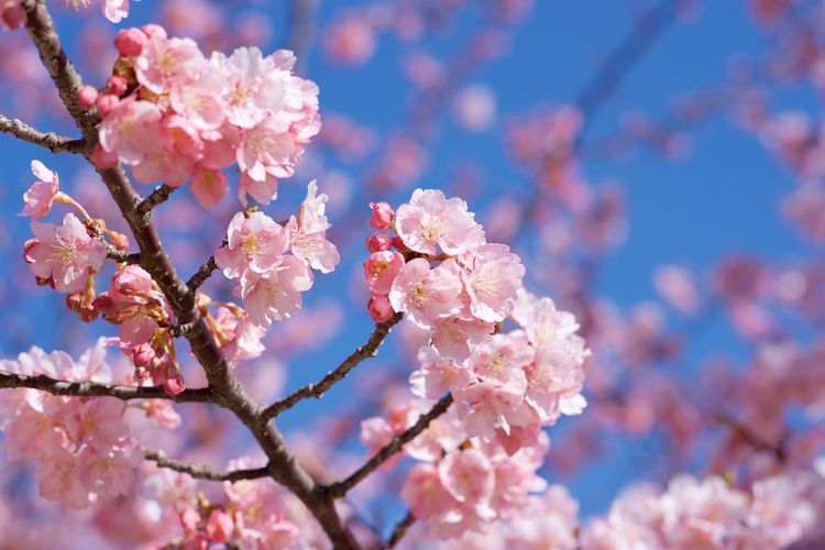 Blossom Branch Cherry Blossoms Flower Fragility Freshness Japan Outdoors Pink Color 乙川 岡崎市 河津桜