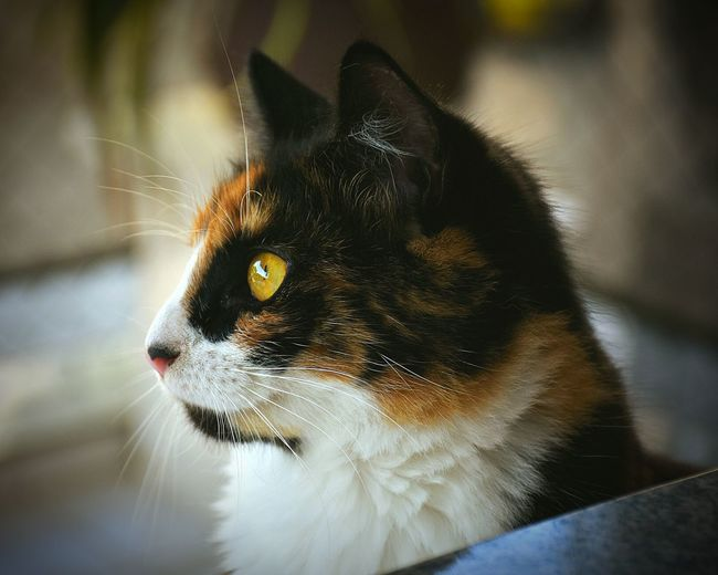 One Animal Pets Animal Themes Domestic Animals Domestic Cat Feline Animal Animal Head  Black Color Mammal Close-up Portrait Cat Cats Of EyeEm Cats 🐱 Tricolor Cat Babycat Cats Cats Eyes Cute Side View Perspectives On Nature