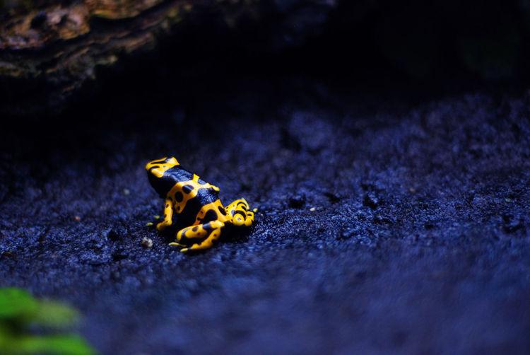 Poisonous amazonian frog