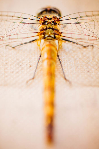 Macro shot of dragonfly