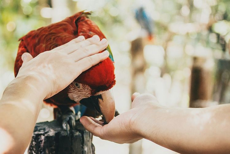 Close-up of hands with scarlet macaw