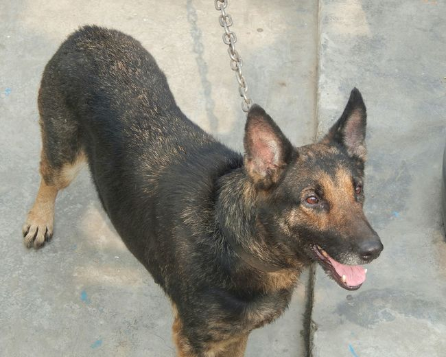 A smart friend with dangerous looks. Friend Dog Lover Dog Love German Shepherd Canine Friends Alsatian Wolf Dog Fearless And Faithful Lupus Familiaris Flying Trot Water Portrait Wet Close-up